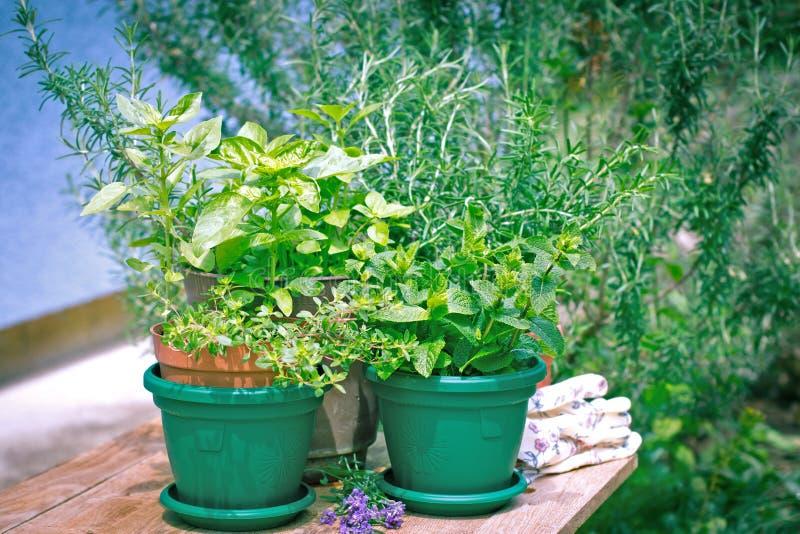 Ervas e especiarias frescas em meu jardim imagens de stock