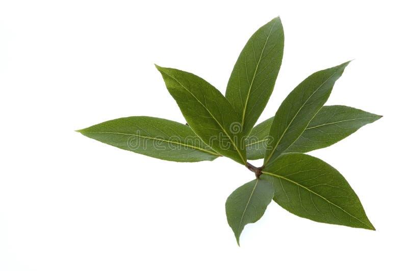 Ervas e especiarias frescas. folha de louro imagens de stock