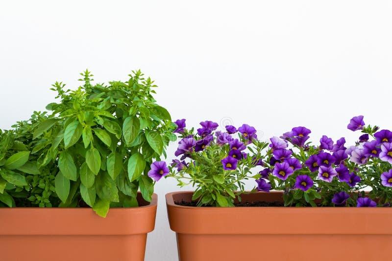Ervas e flores crescentes nos plantadores em uma horta Potenciômetros de flor com manjericão e florescência de milhão plantas dos fotos de stock