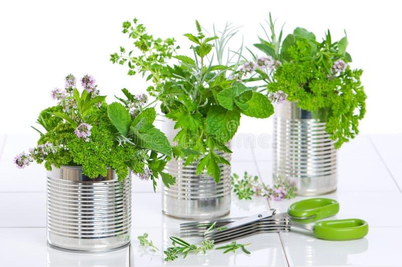 Ervas frescas em umas latas recicl fotografia de stock royalty free