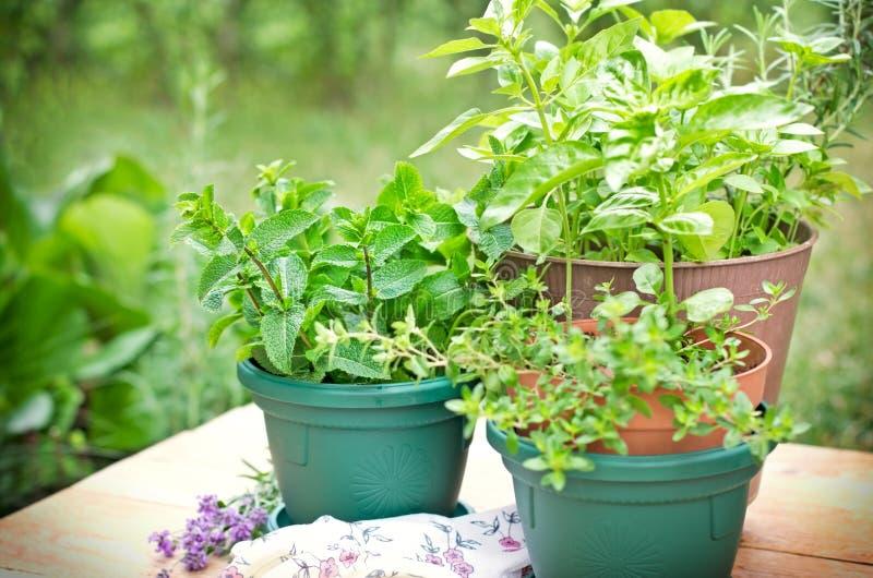 Ervas frescas em uns potenciômetros fotografia de stock