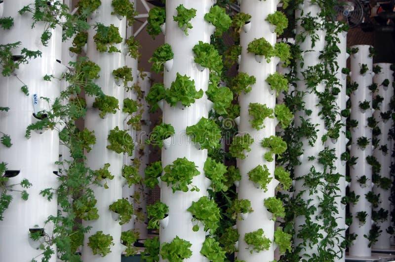 Ervas hidropônicas orgânicas fotografia de stock
