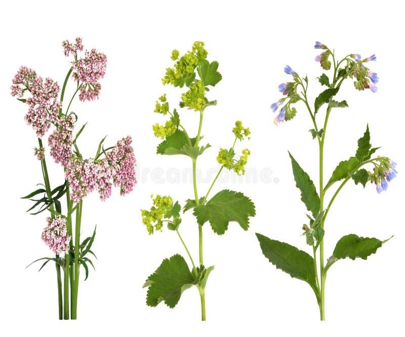 Ervas medicinais na flor imagens de stock