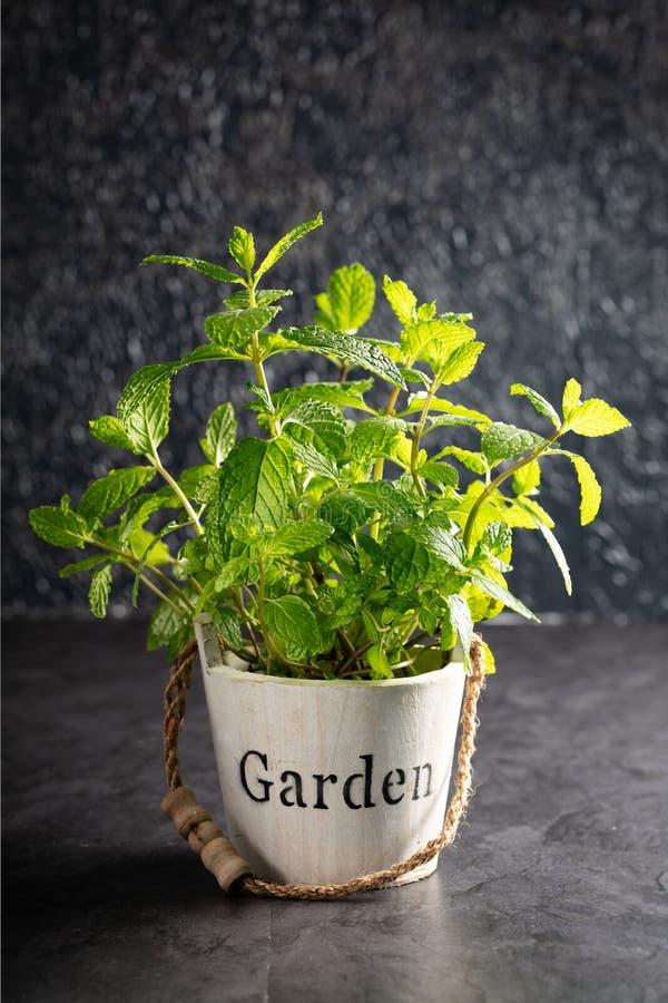 Ervas verdes frescas da hortelã em de madeira pequeno suportado imagens de stock royalty free