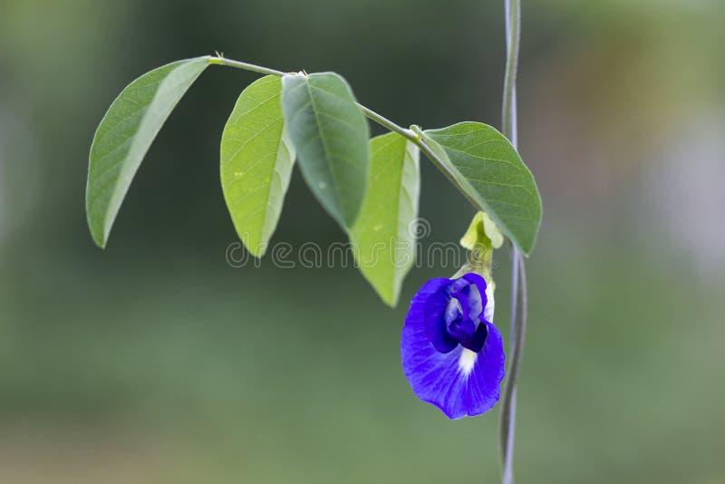 Ervilha de borboleta, bluebellvine, ervilha azul, ternatea cordofan do Clitoria da ervilha e folhas verdes no natural imagens de stock royalty free