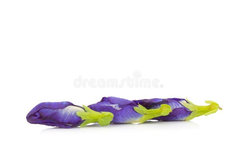 ervilha de borboleta da ervilha azul isolada no fundo branco fotografia de stock
