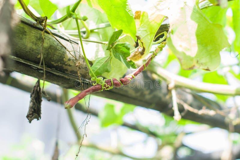 Ervilha roxa foto de stock