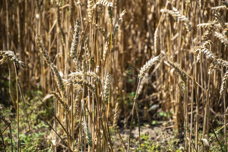 Ervilhas de trigo num campo Campo de trigo Os ouvidos do trigo dourado fecham Antecedentes de maturação do campo de trigo mourisc imagem de stock