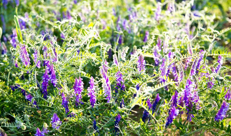 Ervilhas do rato da grama com as flores roxas nos raios do sol de ajuste imagem de stock royalty free