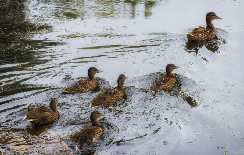 Erwachsene Ente und Entlein schwimmen über dem See stockfoto