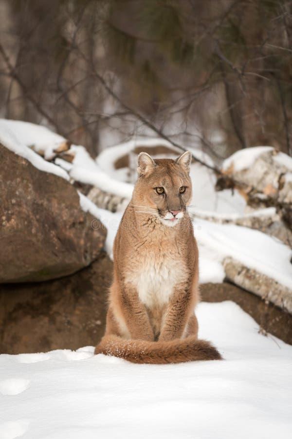 Erwachsene Frau-Puma-Puma concolor stößt heraus Zunge lizenzfreie stockfotos
