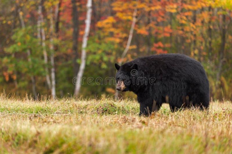 Erwachsene Frau-schwarzer Bär (der Ursus americanus) schaut zurück stockfotos
