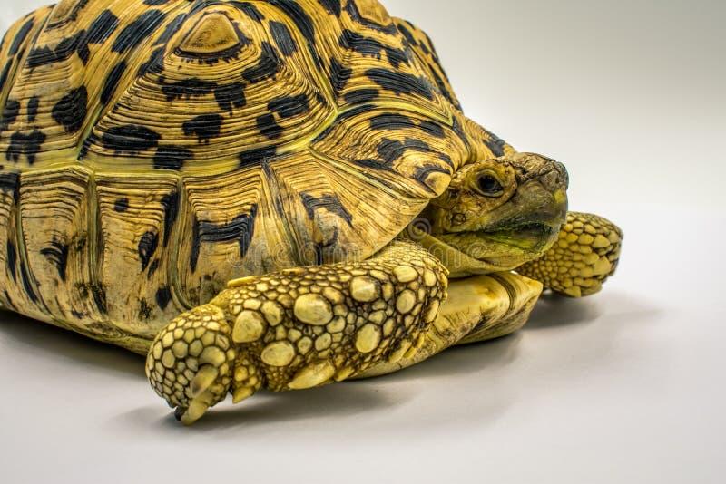 Erwachsene Leopard-Schildkröte Stigmochelys-pardalis auf weißem Hintergrund lizenzfreie stockfotos