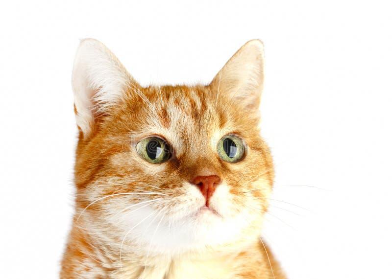 Erwachsene rote Katze lokalisiert auf weißem Hintergrund stockbilder