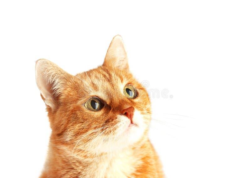 Erwachsene rote Katze lokalisiert auf weißem Hintergrund, Katze ` s Mündung stockfoto