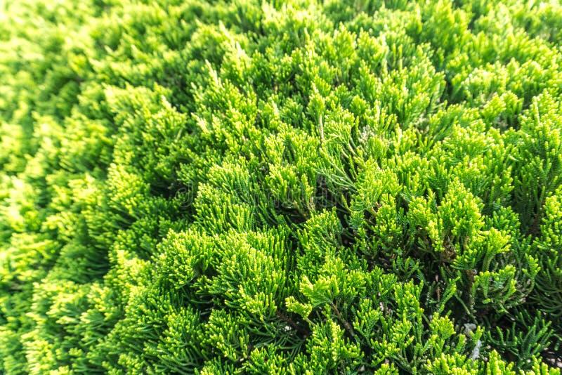 Erwachsene Skalablätter von Juniperus chinensis irgendeine Familie der Kiefer tr lizenzfreie stockfotos