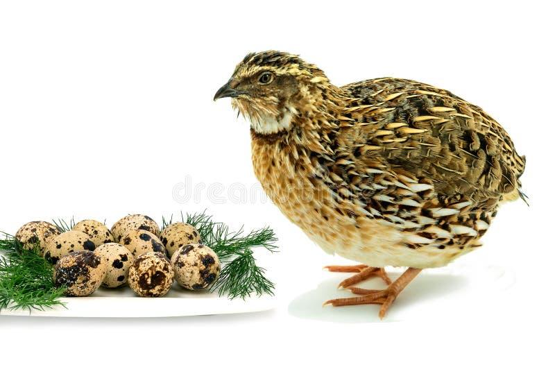Erwachsene Wachteln mit den Eiern lokalisiert auf weißem Hintergrund lizenzfreies stockfoto
