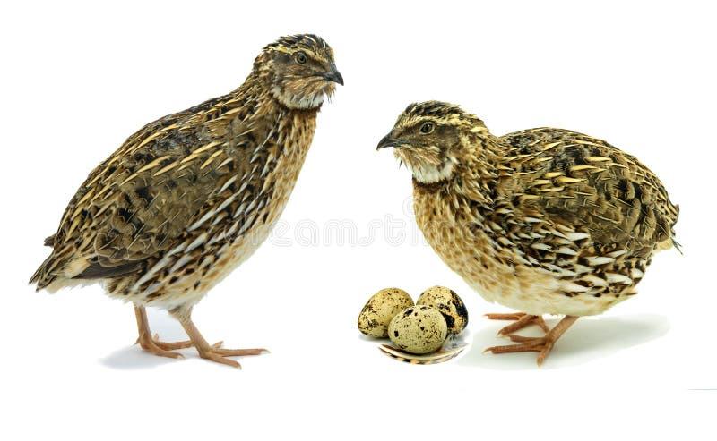 Erwachsene Wachteln mit den Eiern lokalisiert auf weißem Hintergrund lizenzfreie stockfotografie