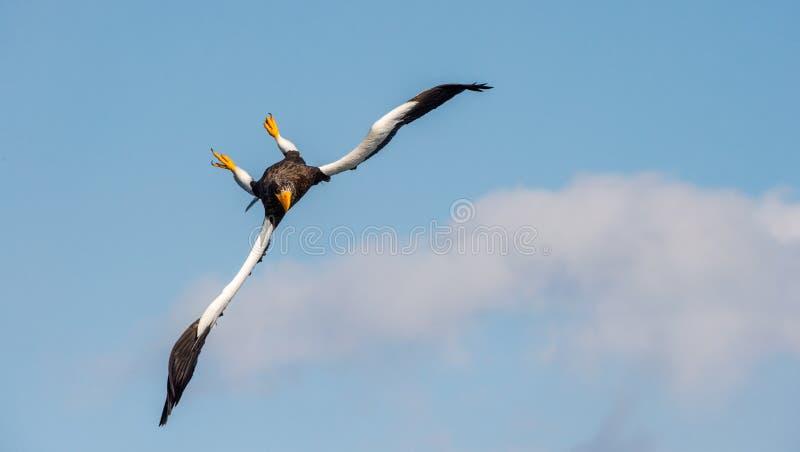 Erwachsenen Stellers Tauchen Seedes adlers im Flug Hintergrund des blauen Himmels Wissenschaftlicher Name: Haliaeetus pelagicus H lizenzfreies stockbild