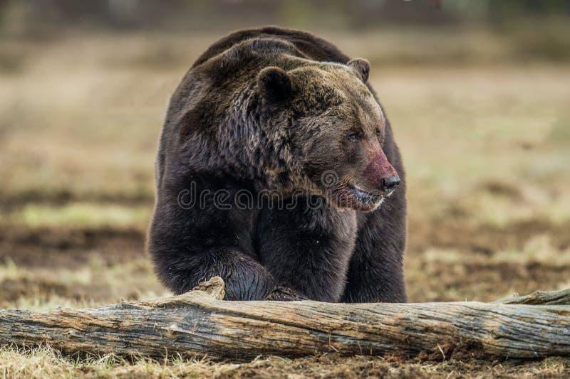 Erwachsener Braunbär mit der blutbefleckt Mündung lizenzfreies stockbild