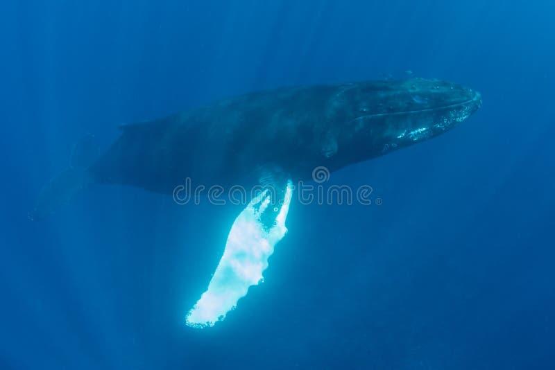 Erwachsener Buckel-Wal im klaren, sonnenbeschienen Wasser lizenzfreies stockfoto