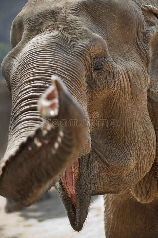 Erwachsener Elefantkopf. lizenzfreies stockbild