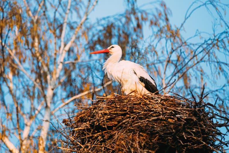 Erwachsener europäischer weißer Storch, der im Nest nahe bloßem Frühling Bir steht stockfotografie