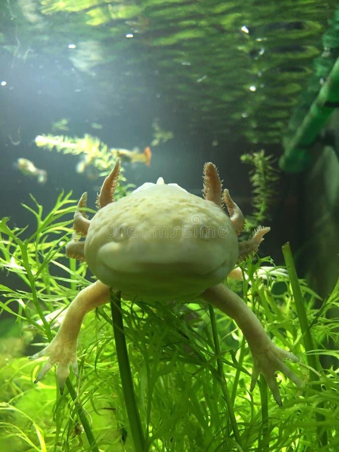 Erwachsener goldener Albino Axolotl lizenzfreies stockbild