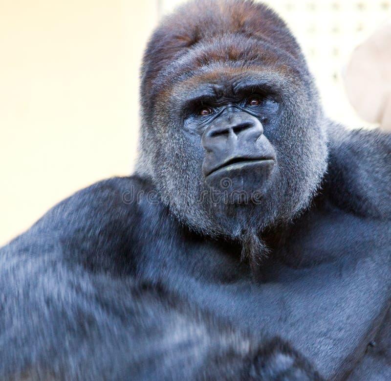 Erwachsener Gorilla lizenzfreie stockbilder