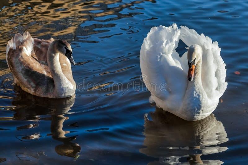 Erwachsener Höckerschwan mit Cygnet auf dem Fluss großes Ouse bei Ely lizenzfreie stockfotos