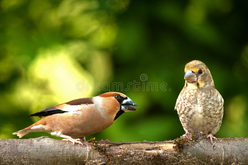 Erwachsener Hawfinch (Coccothraustes Coccothraustes) mit Küken auf einem b lizenzfreie stockfotos