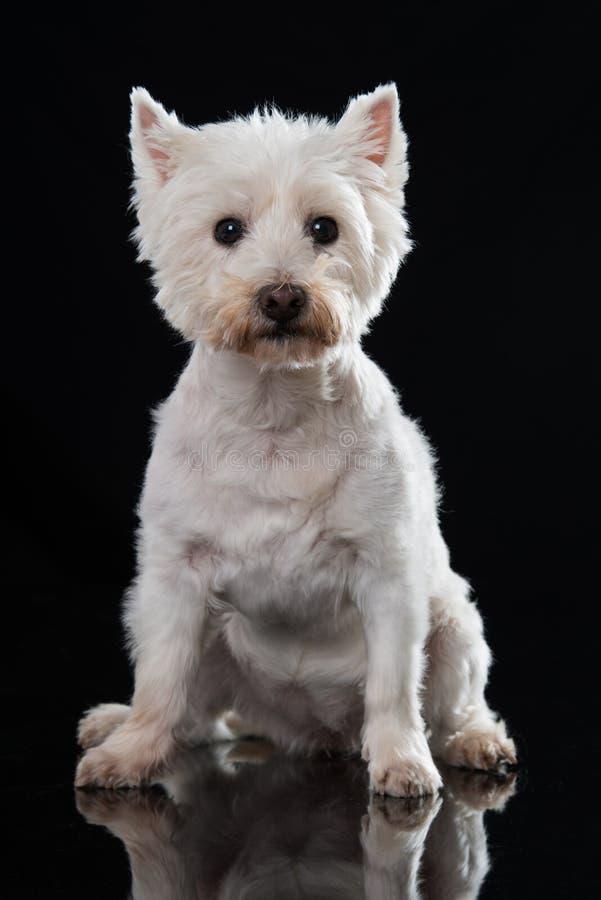 Erwachsener Hund des weißen Terriers des Westhochlands, der auf schwarzem Hintergrund sitzt lizenzfreies stockbild