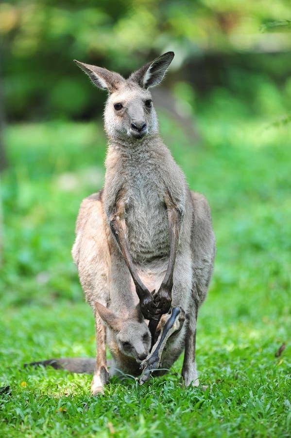 Erwachsener Känguru mit joey in seiner Tasche stockfoto