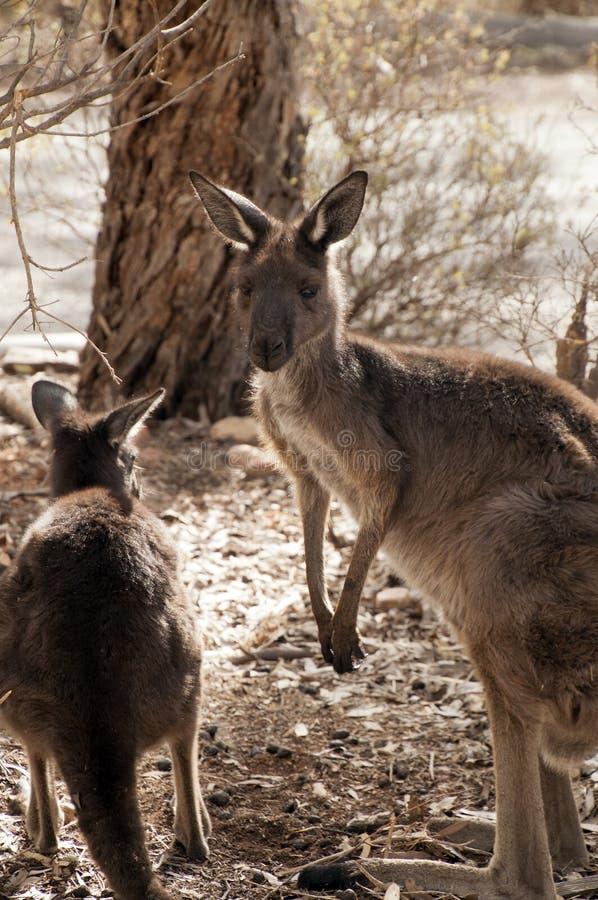 Erwachsener Känguru und joey im Buschgarten nahe Straße lizenzfreie stockbilder