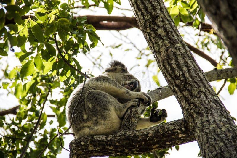 Erwachsener Koala, der im Treetop schläft stockfotografie