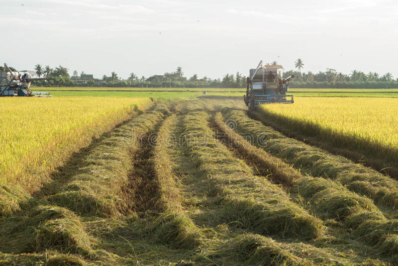 Erwachsener, Landwirtschaft, Asien, Asiat, Ernte, kultivieren, züchten, schnitten, bewirtschaften, der Landwirt und bewirtschafte stockfotos