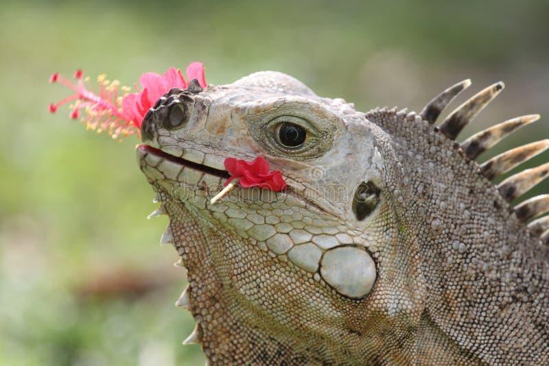 Erwachsener Leguan, der rote Hibiscusblume isst stockfotografie