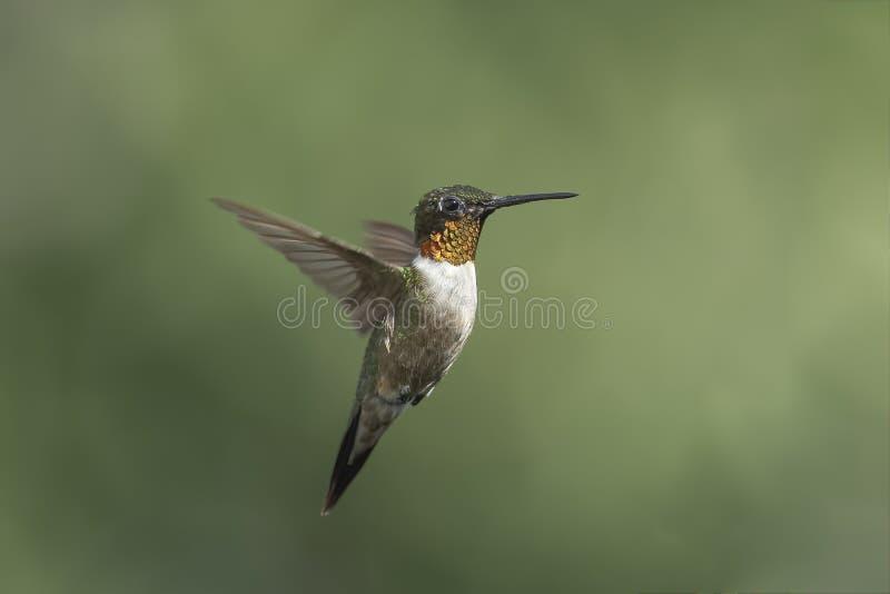 Erwachsener männlicher Rubin-throated Kolibri, der einen näheren Blick wirft stockfotos