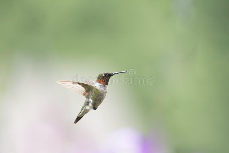 Erwachsener männlicher Rubin-throated Kolibri, der einen näheren Blick wirft stockbilder