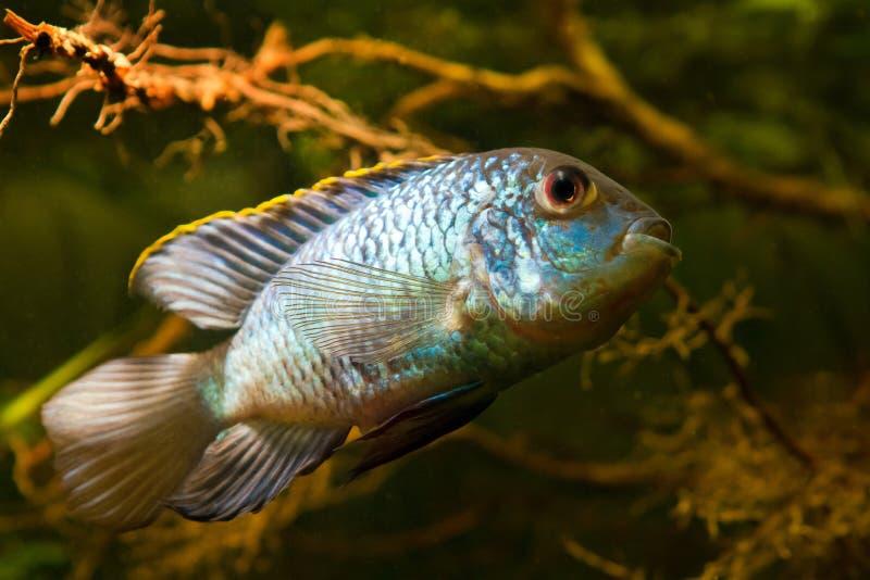 Erwachsener Mann des Frischwasser- Türkises Nannacara-Anomalades neon- blauen oder zwergartigen Neon-nannacara im Cichlidbiotop stockfotografie