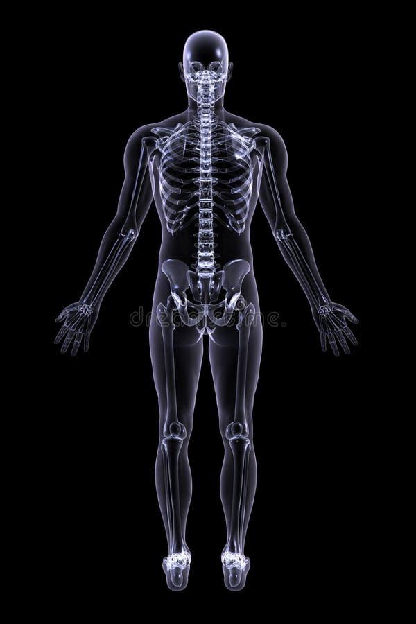 Erwachsener Mannesröntgenstrahl - hintere Ansicht lizenzfreie abbildung