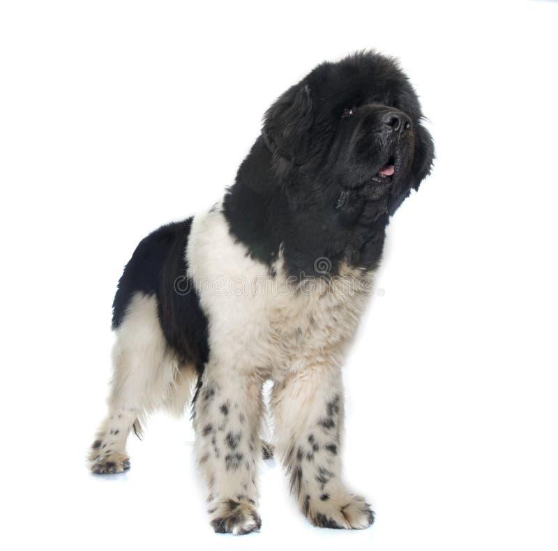Erwachsener Neufundland-Hund stockbilder