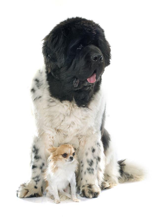 Erwachsener Neufundland-Hund stockfotos