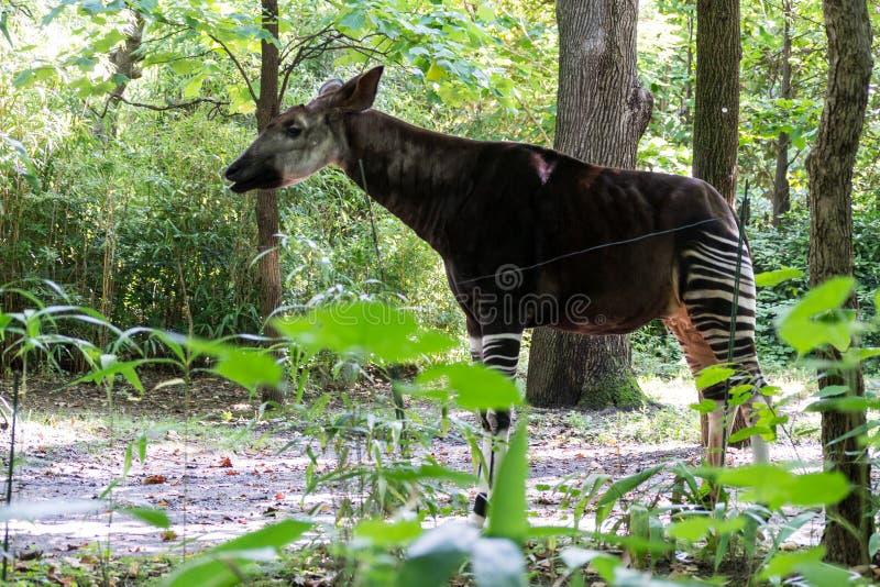 Erwachsener Okapi zwischen Bäumen lizenzfreie stockfotografie