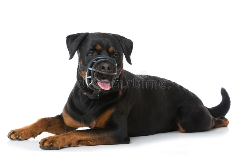 Erwachsener rottweiler Hund mit Mündung lizenzfreie stockfotos