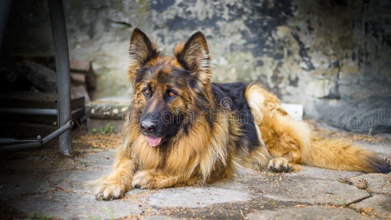 Erwachsener Schäferhund in einem Porträtfoto Ein großer Hund liegt friedlich auf einem Betonwürfel Kleine Schärfentiefe lizenzfreie stockfotografie