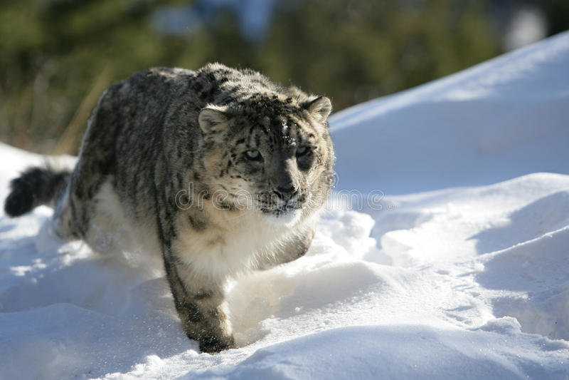 Erwachsener Schnee-Leopard lizenzfreies stockbild