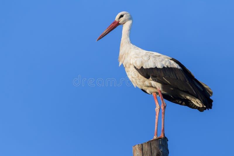 Erwachsener weißer Storch, der auf hölzernem Strom stillsteht stockbilder