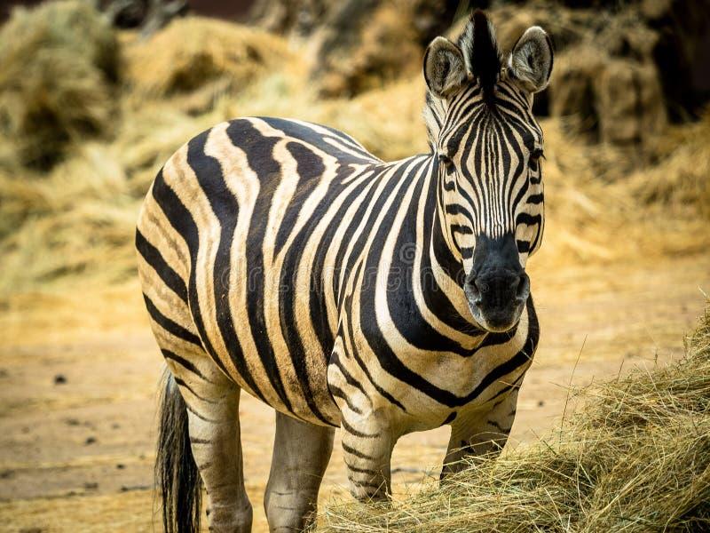 Erwachsener Zebra lizenzfreies stockfoto