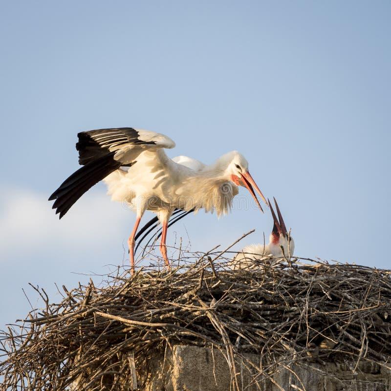 Erwachsenes weißer Storch ciconia ciconia, das sein Küken einzieht lizenzfreie stockfotos